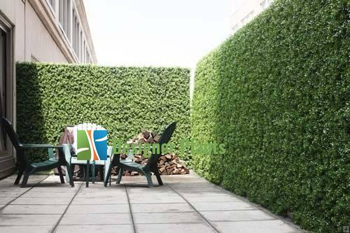 Buxus green wall to provide prviacy