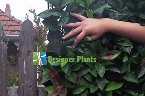install hedges