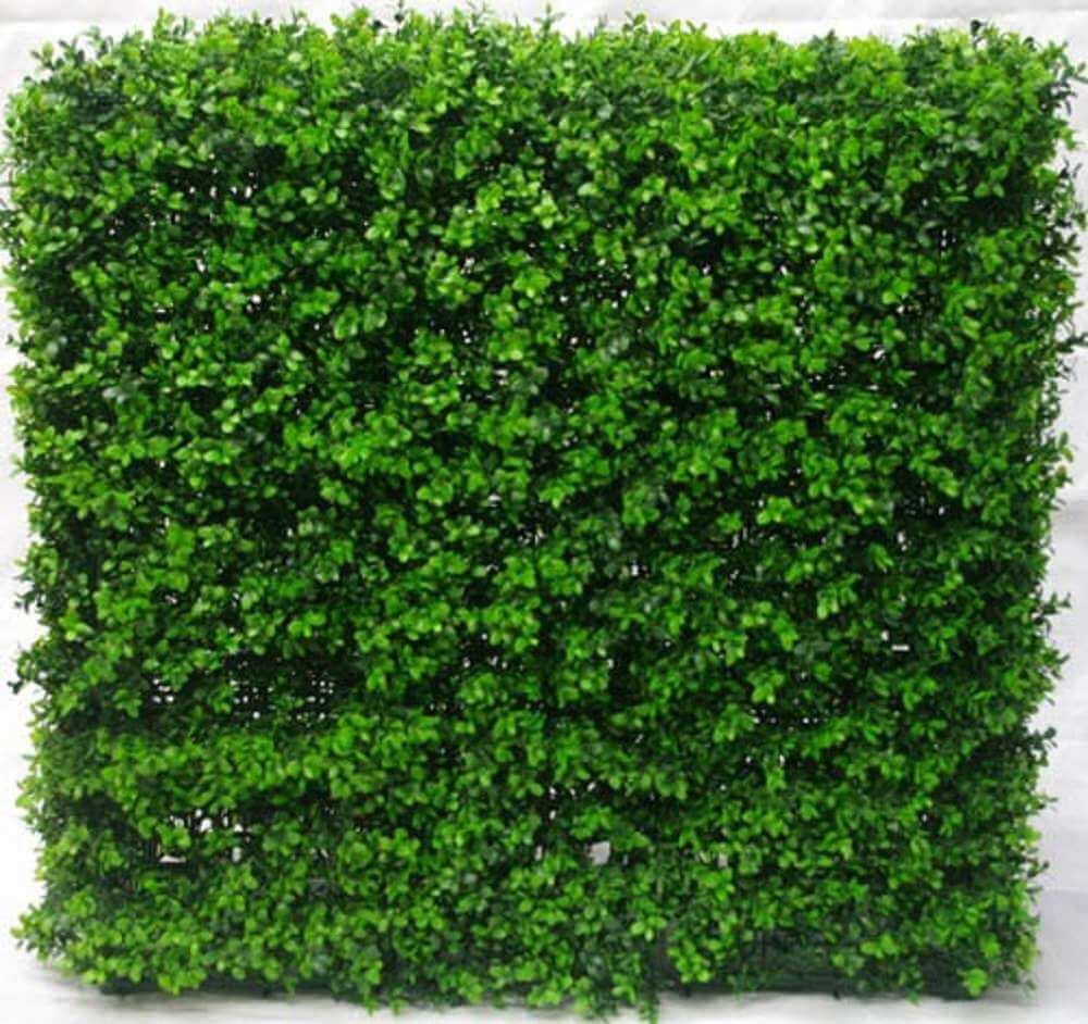 Buxus Hedge