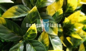 Golden King - Yellow Photinia