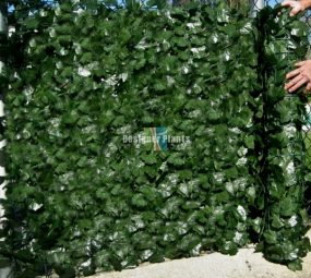 Ivy On a Fence
