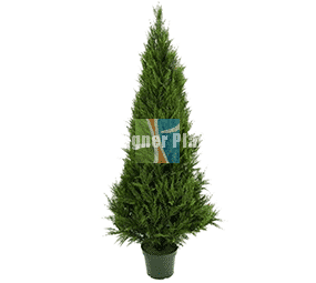 High Quality Cypress Pine tree
