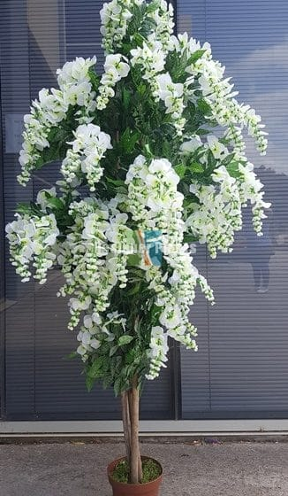 Draping white flowering wisteria 185cm designer plants flowering white wisteria tree mightylinksfo