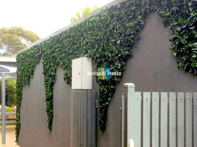 Growth Effect - Ivy Wall