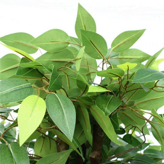 bushy ficus dark trunk