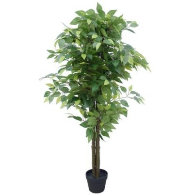 bushy ficus dark trunk