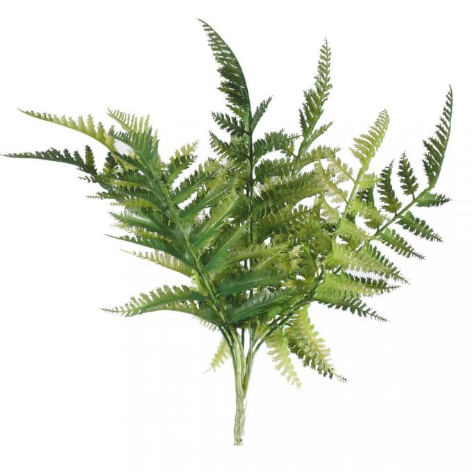Dryopteris Fern Stem