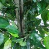 Bushy artificial ficus tree with plastic trunk
