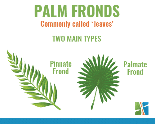 palm tree fronds and palm tree leaves