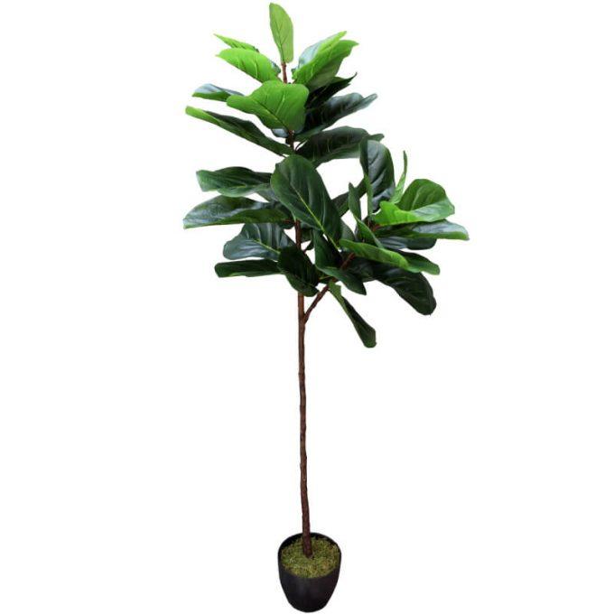 large tall fiddle leaf fig