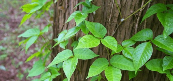Poison ivy and how to remove or identify it