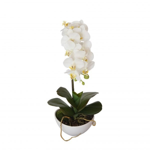 Butterfly Orchid - White