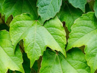 Boston Ivy for a stylish view - boston ivy real plant variety