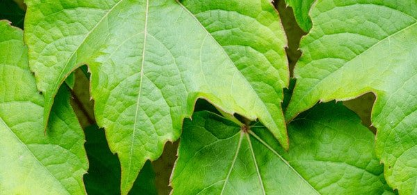 Boston ivy garden ivy care tips