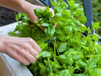 Fresh basil is a deterrent for bees and wasps in your garden