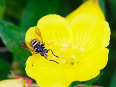 Wasp on a bright yellow flower plant looking up at a person