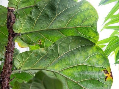 Fiddle leaf fig - closeup of leaves with brown spots