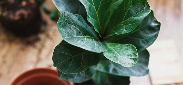 Caring for a fiddle leaf fig tree: A detailed guide
