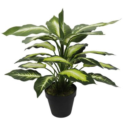 Leopard Lily (Dieffenbachia) with Pot