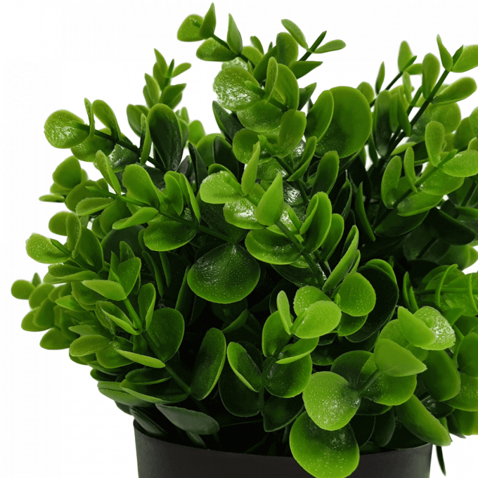 recycled small potted Peperomia plant