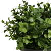 recycled small potted buxus plant