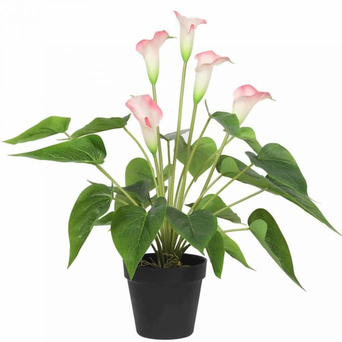 potted calla lily with pink flowers