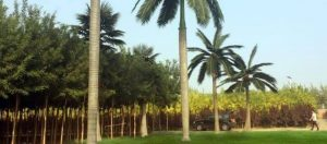 Artificial Royal Coconut Palm Tree