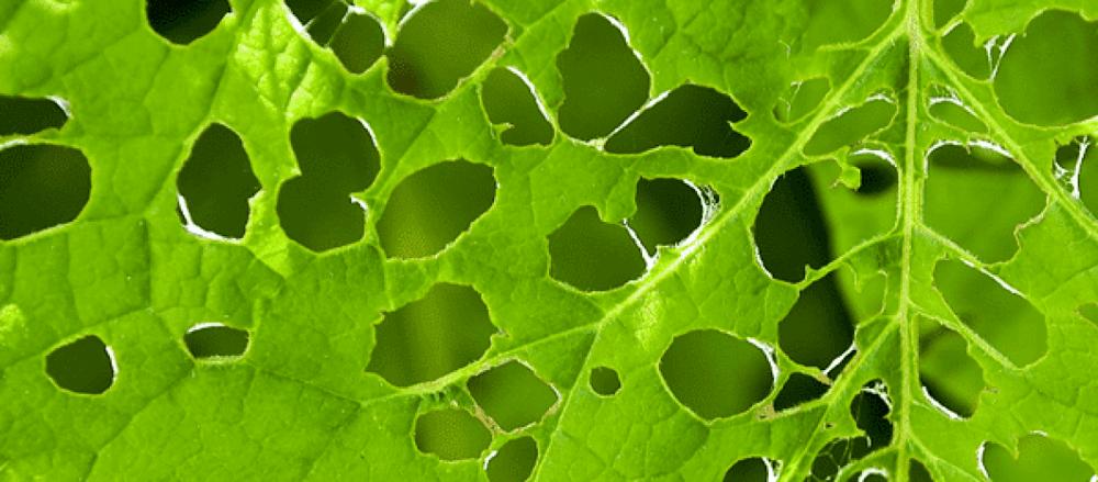 Garden pests eating leaves